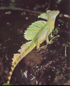Insects and small lizards make up most of the fauna, Basilisk lizard.