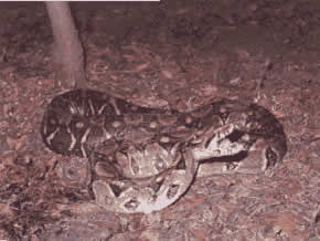 "The boa or ""bequer"" is one of the reptile species found on this park."