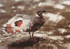 The great sunbittern can be observed in the ravines