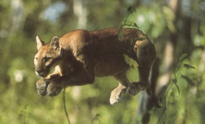The puma is one of the six species of felines that live in Santa Rosa